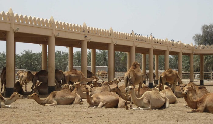 camel breeding farm
